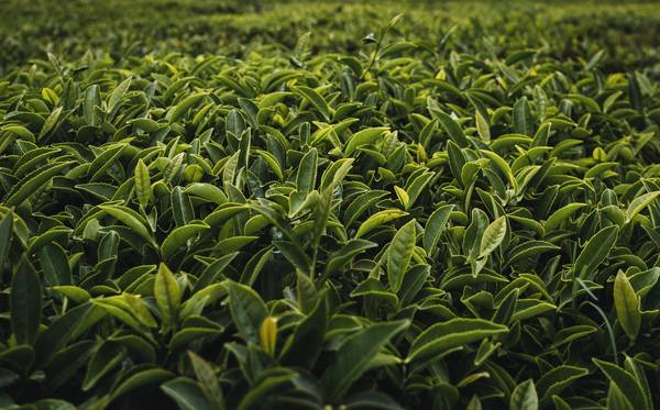 groene thee veld